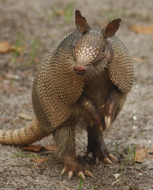 Armadillo with shell