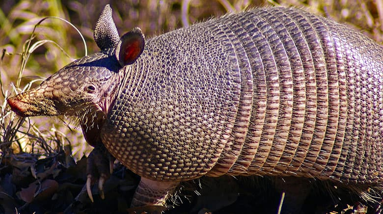 Photo of armadillo with shell