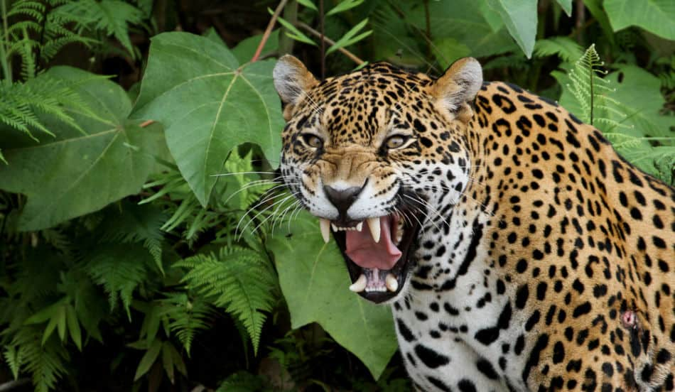 This image has an empty alt attribute; its file name is Jaguar.-5.jpg