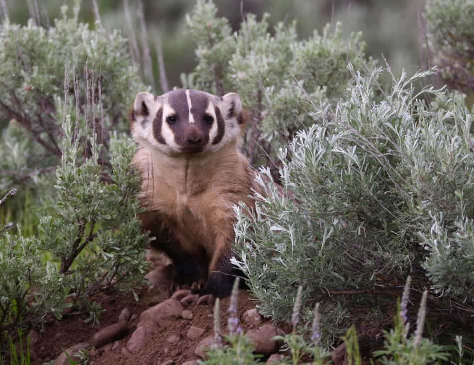 This image has an empty alt attribute; its file name is North-American-Badger1.jpg