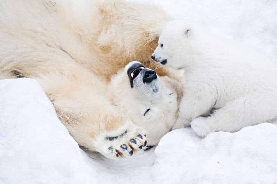 This image has an empty alt attribute; its file name is Polar-bear-3.jpg