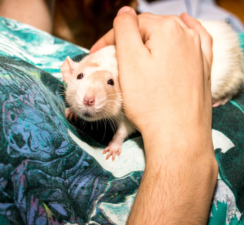 Rat being stroked