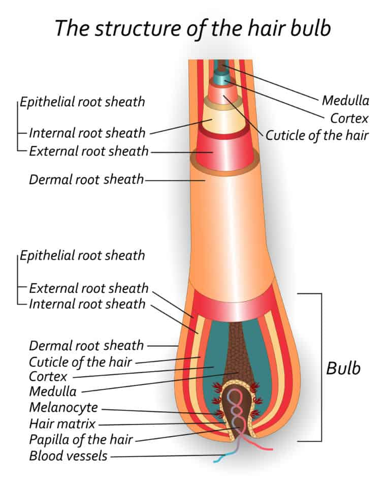 Structure of the hair bulb