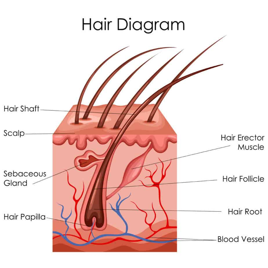 Hair Diagram
