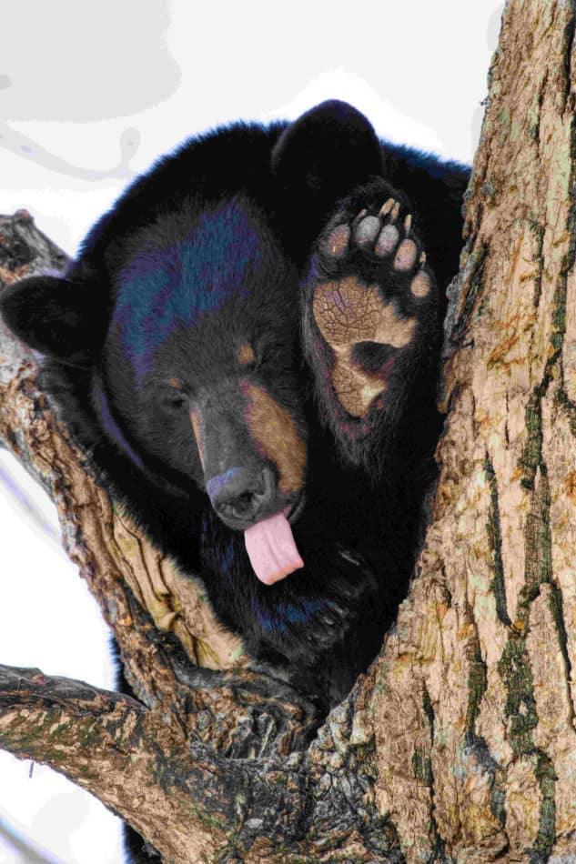 Bear with tongue out
