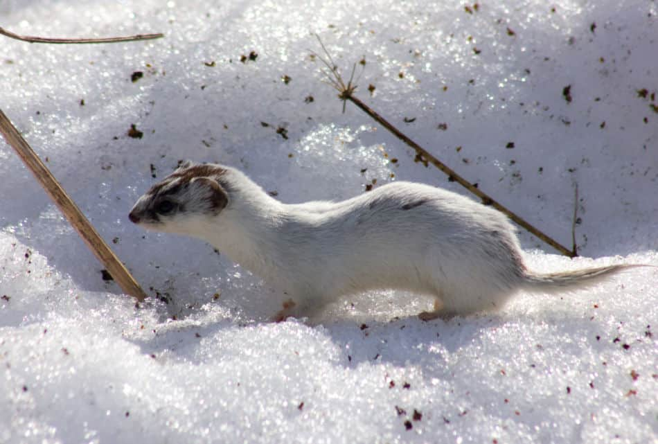 Least weasel in snow