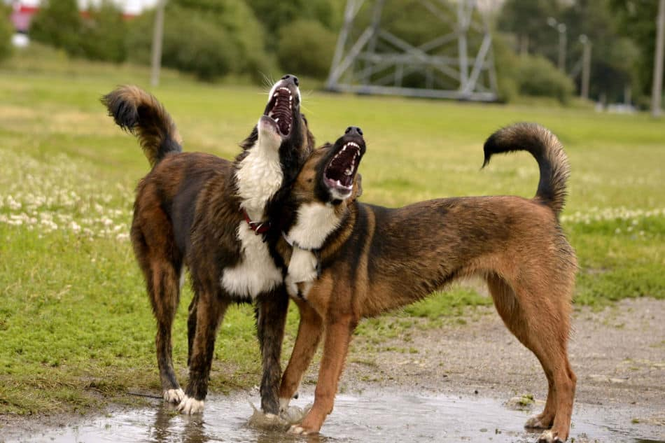 Dogs Howling