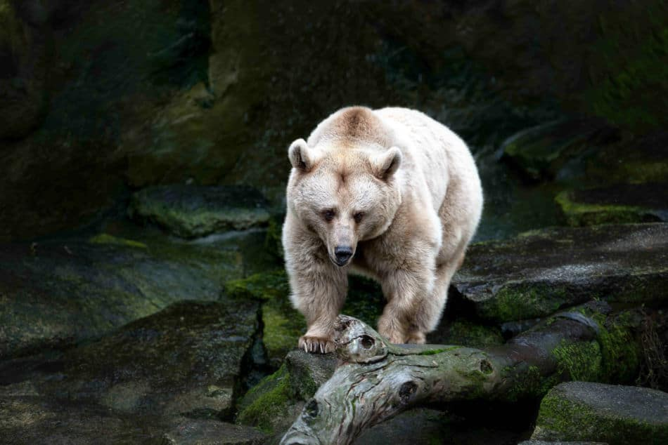 White brown bear