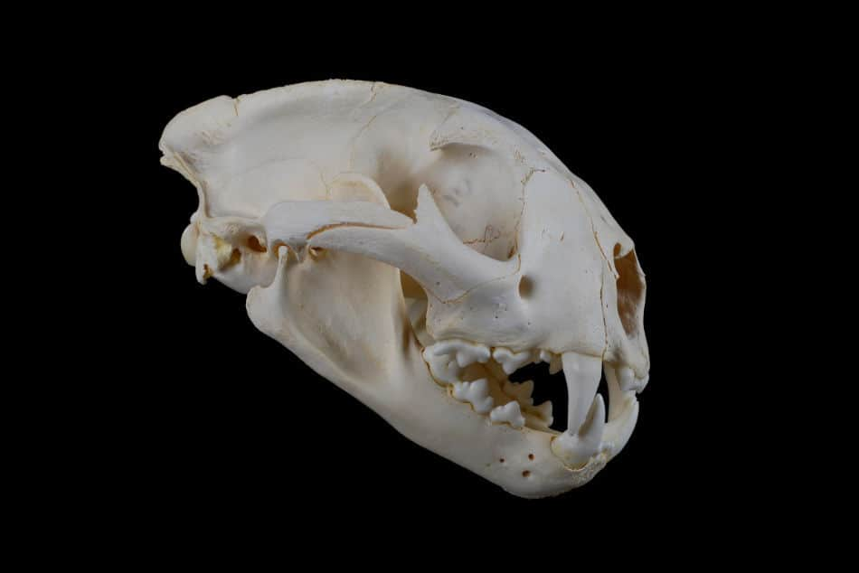 Photo of cougar skull
