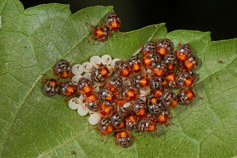 Insect egg