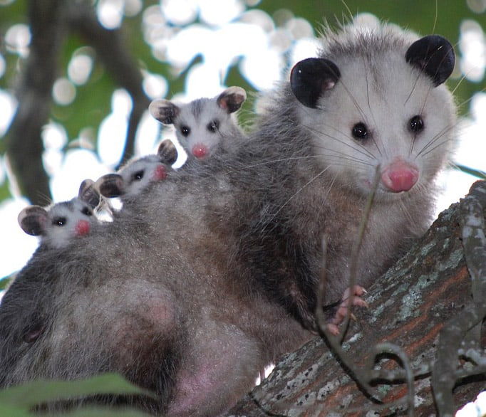 Photo of opossum and babies