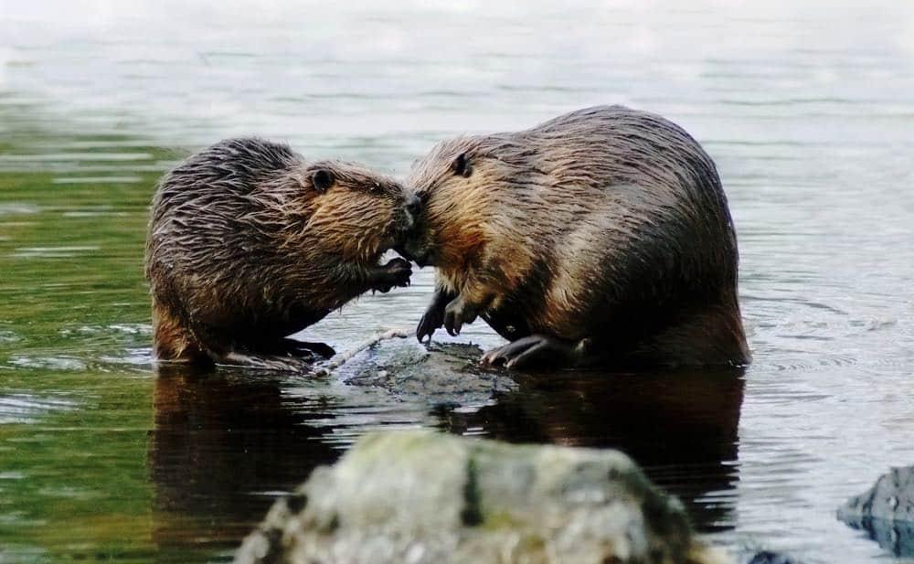 Beaver couple