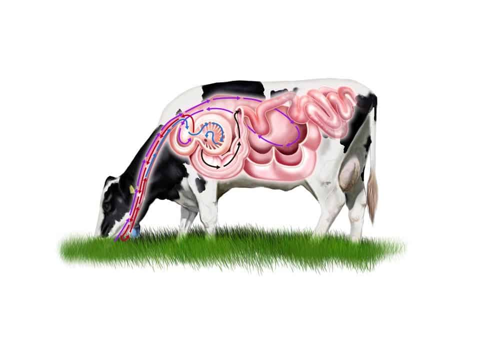 Cows stomach