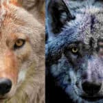 What Is The Difference Between a Coyote and a Wolf?