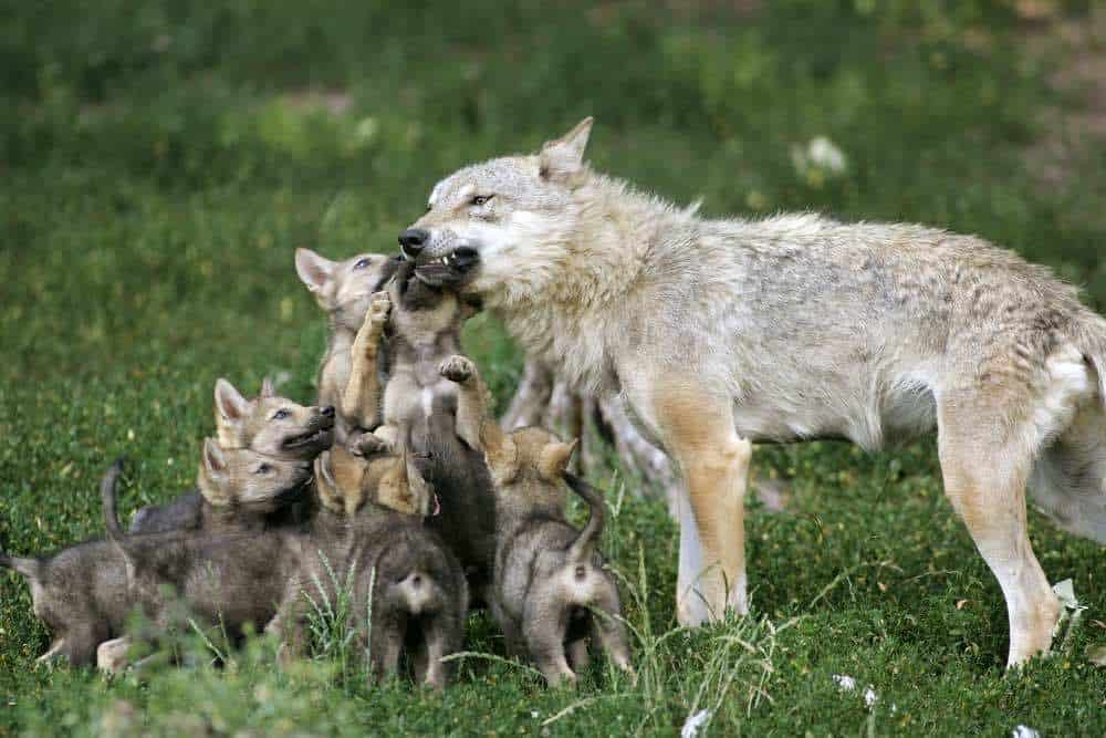 Wolf with pups