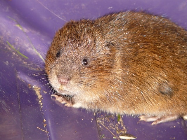 East Water Vole