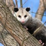 Why Do Opossums Die so Fast?