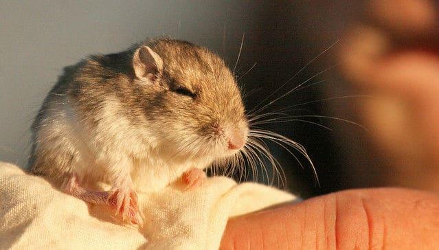 Great Basin Pocket Mouse