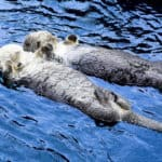How Do Otters Communicate?