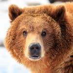 How Did Bears Evolve?