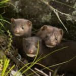 What Do Weasels Eat?