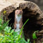 101 Facts About Weasels