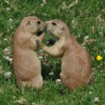 Why Do Prairie Dogs Kiss?