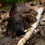 Why Are Beavers Mammals?