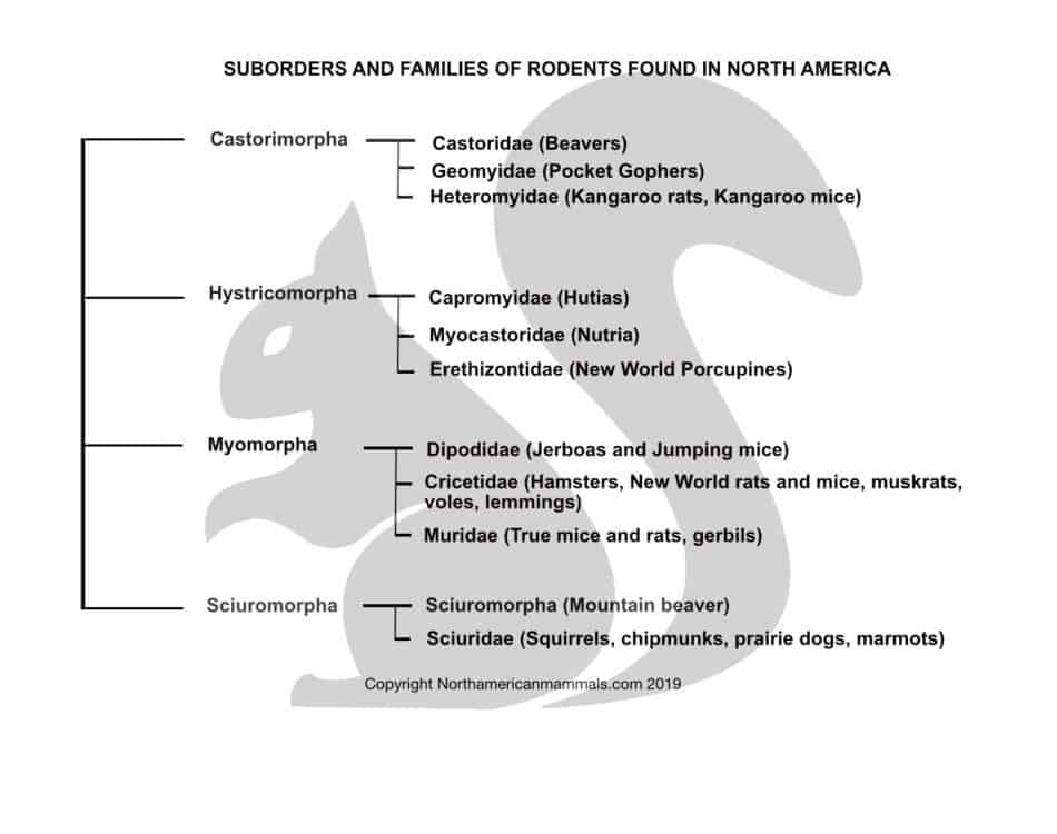 SUBORDERS AND FAMILIES OF RODENTS FOUND IN NORTH AMERICA