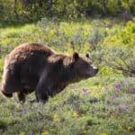 Can You Outrun A Bear?