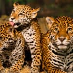 101 Facts About Jaguars