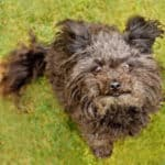 Dog Breeds That Begin With R