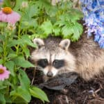 How To Stop Raccoons Digging Up Your Lawn