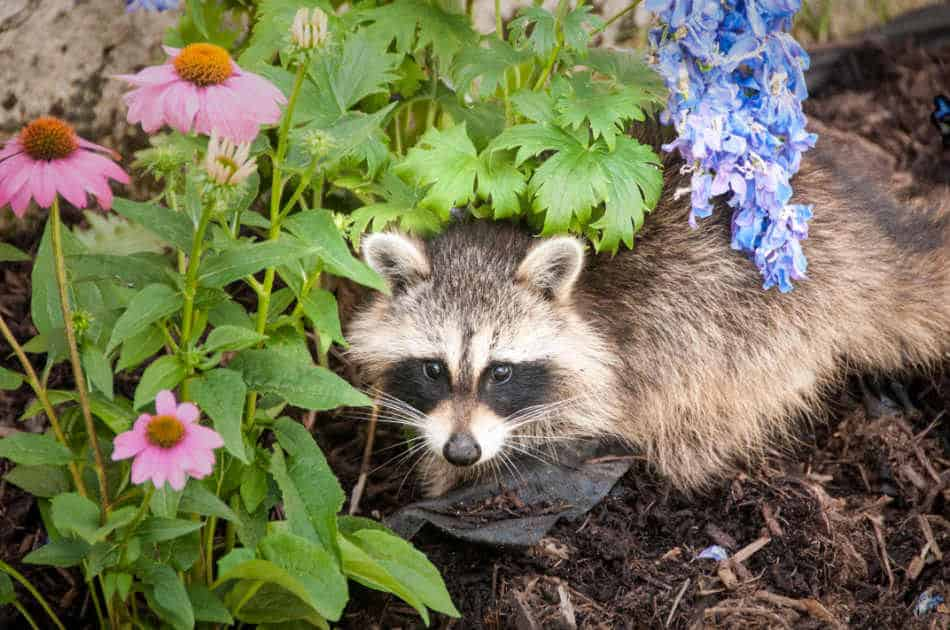raccoon digging