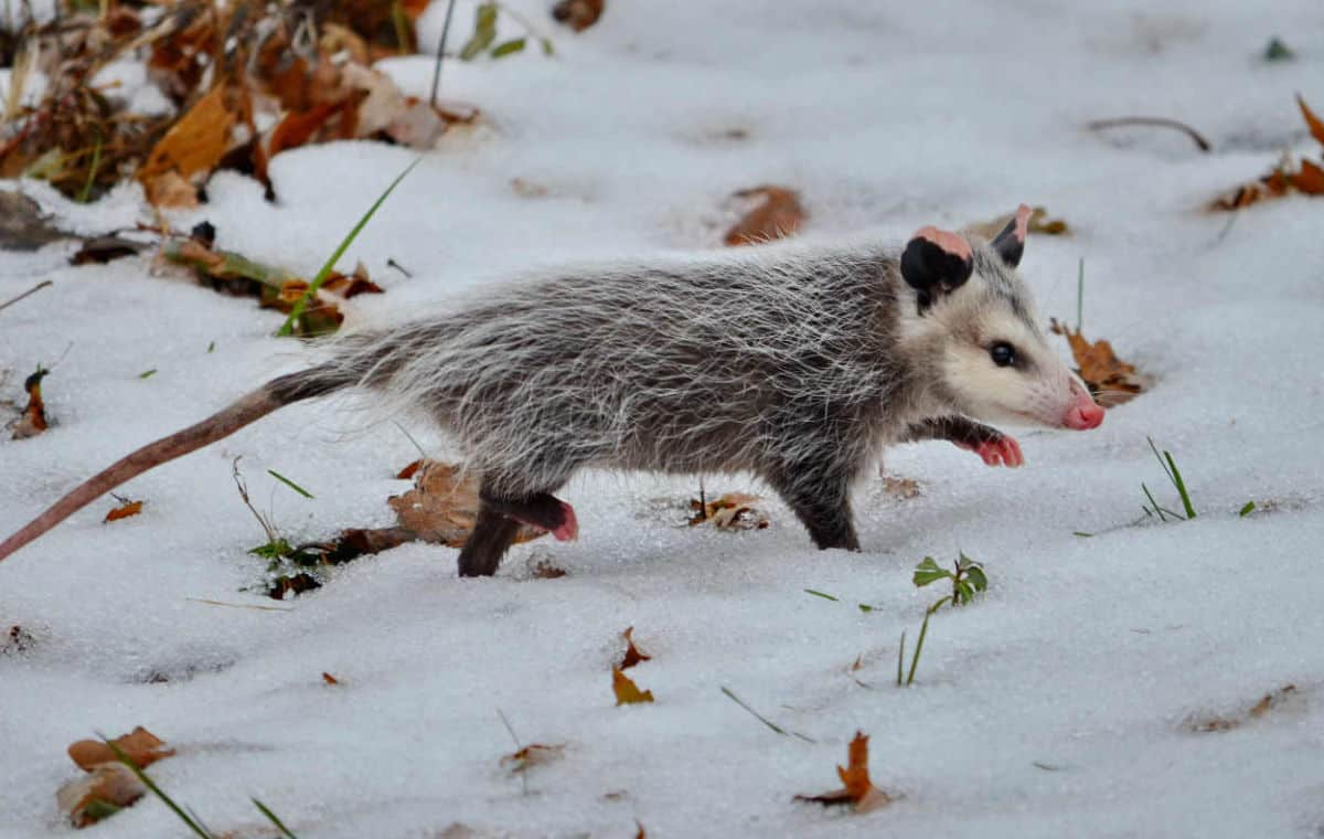opossum in winter