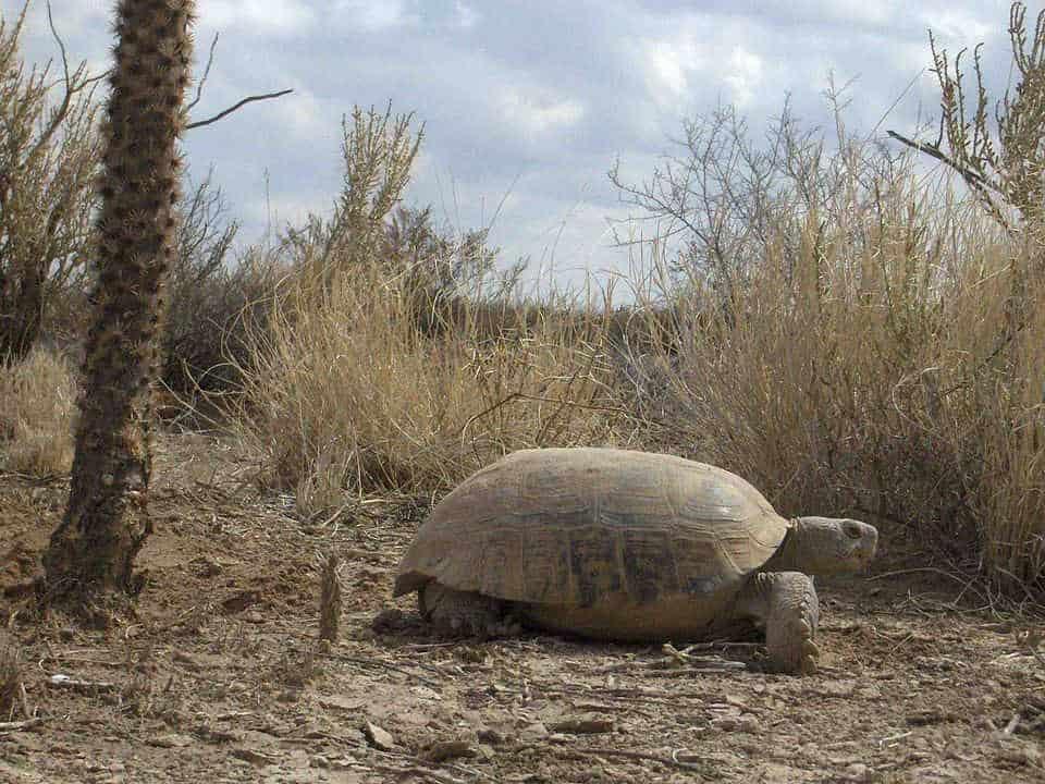 Bolson Tortoise