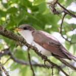 Cuckoos of North America