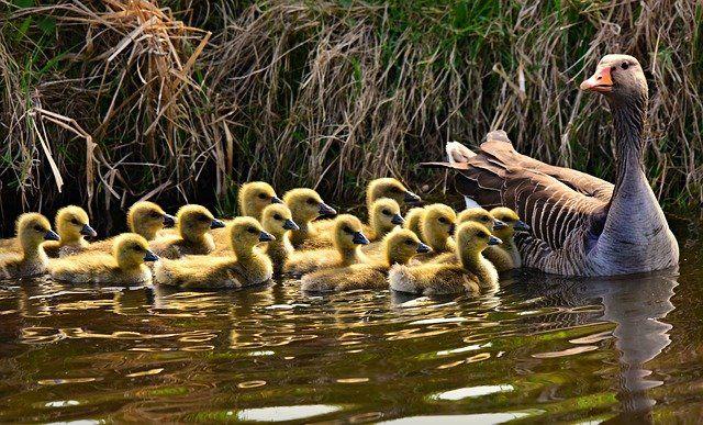 Precocial geese